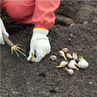 Comment planter l'ail ?