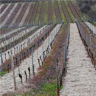 Comment tailler la vigne pour avoir du raisin ?
